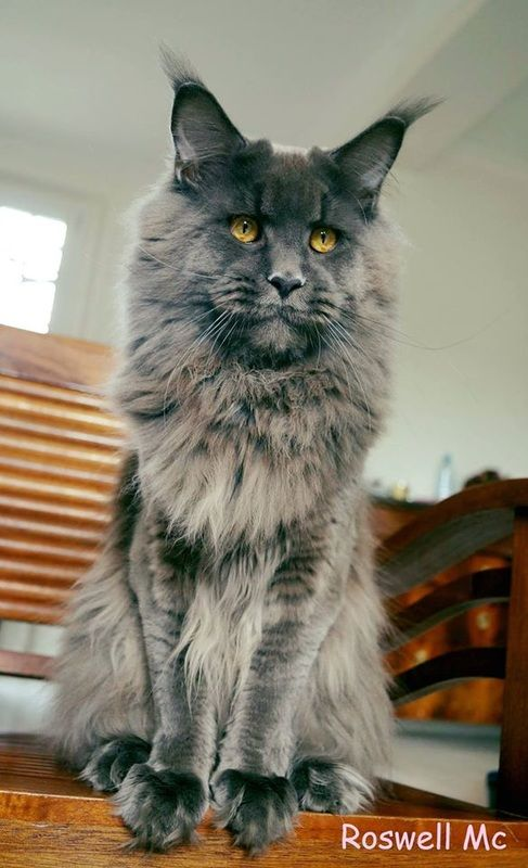 Pin By Torri Kendall Hansen On Cats Maine Coon Maine Coon Kittens Maine Coon Cats