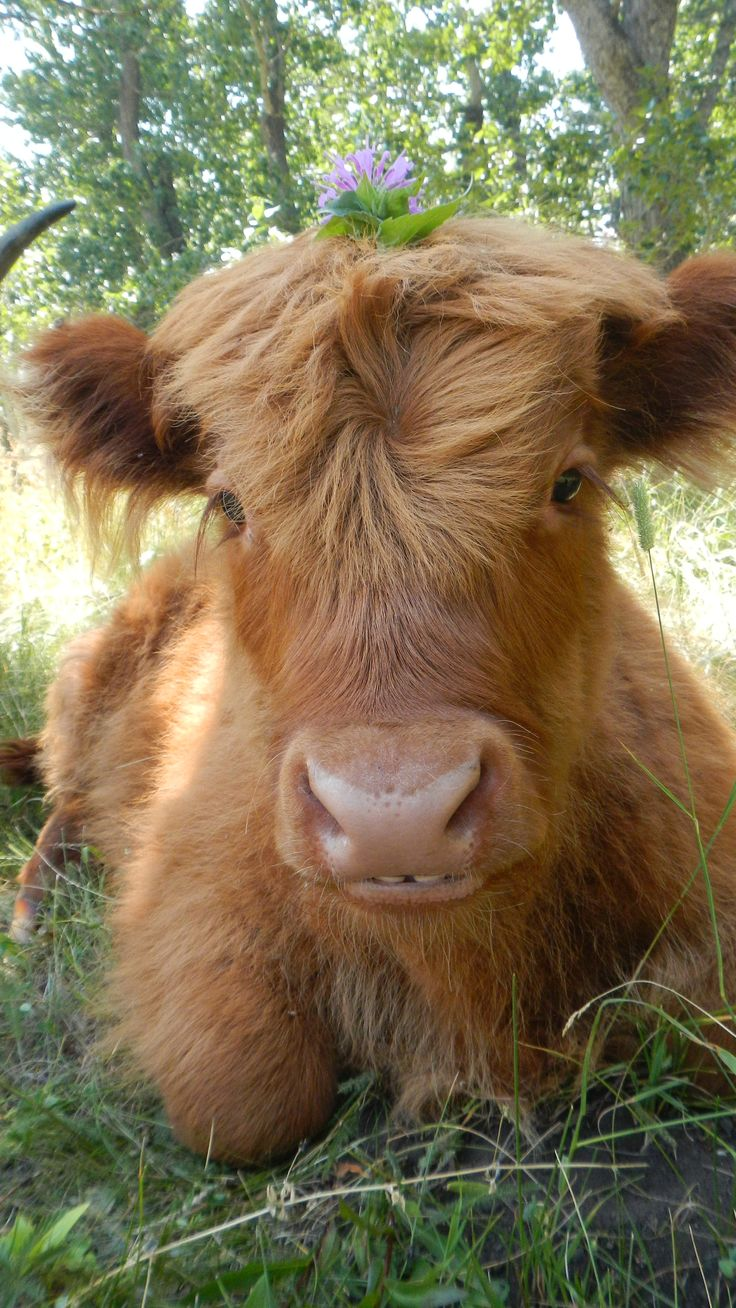 1183 best cows and more images on pinterest farm animals