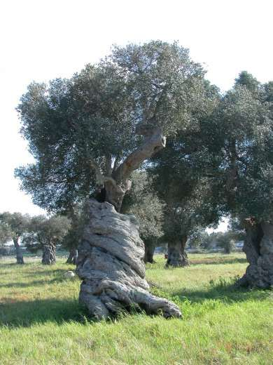 I tuoi figli saranno come piante d'ulivo intorno alla tua mensa  http://oldweb.altervista.org/i-tuoi-figli-saranno-come-piante-dulivo-intorno-alla-tua-mensa/