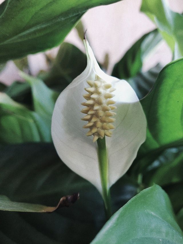 Dying Peace Lily Expert Tips To Grow And Revive Your Plant