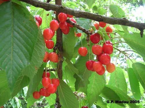 Prunus avium L.    Famiglia Rosaceae    Nome comune    Ciliegio selvatico