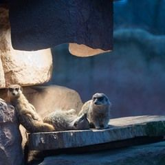 Meerkats sunbake under a lamp during cold temperatures at the Magdeburg Zoo in Germany