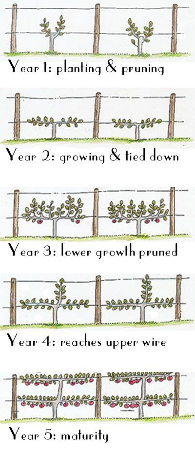 Espalier Fruit Trees for our orchard. Espalier = the horticultural and ancient agricultural practice of controlling woody plant growth originally for the production of fruit,by pruning and tying branches to a frame so that they grow into a flat plane, frequently in formal patterns, against a structure such as a wall, fence, or trellis.
