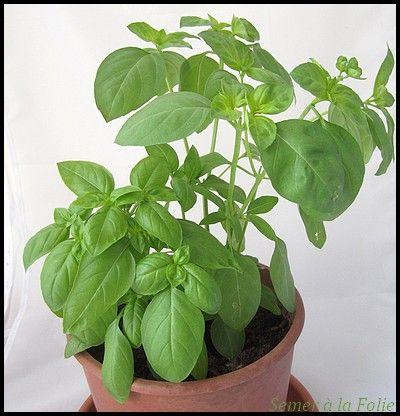 Les 25 meilleures id es concernant culture de plantes for Basilic culture interieur