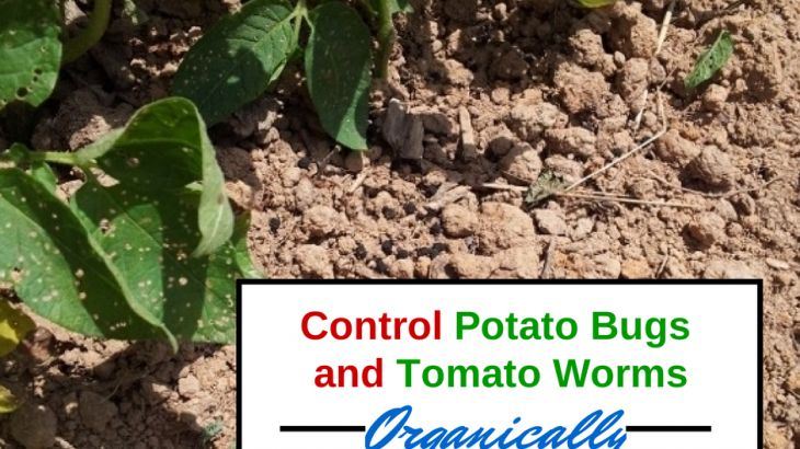 Control potato bugs and tomato horn worms organically!