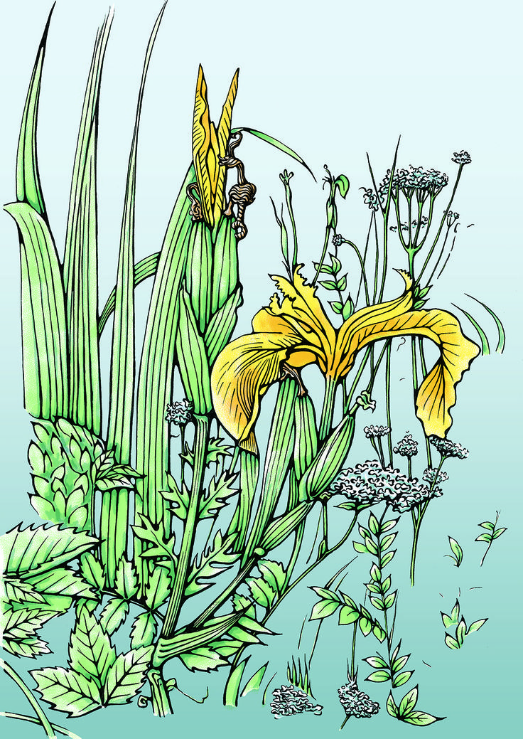 Wild Yellow Iris, commonly found along the waterways of the upper Shannon region in Ireland
