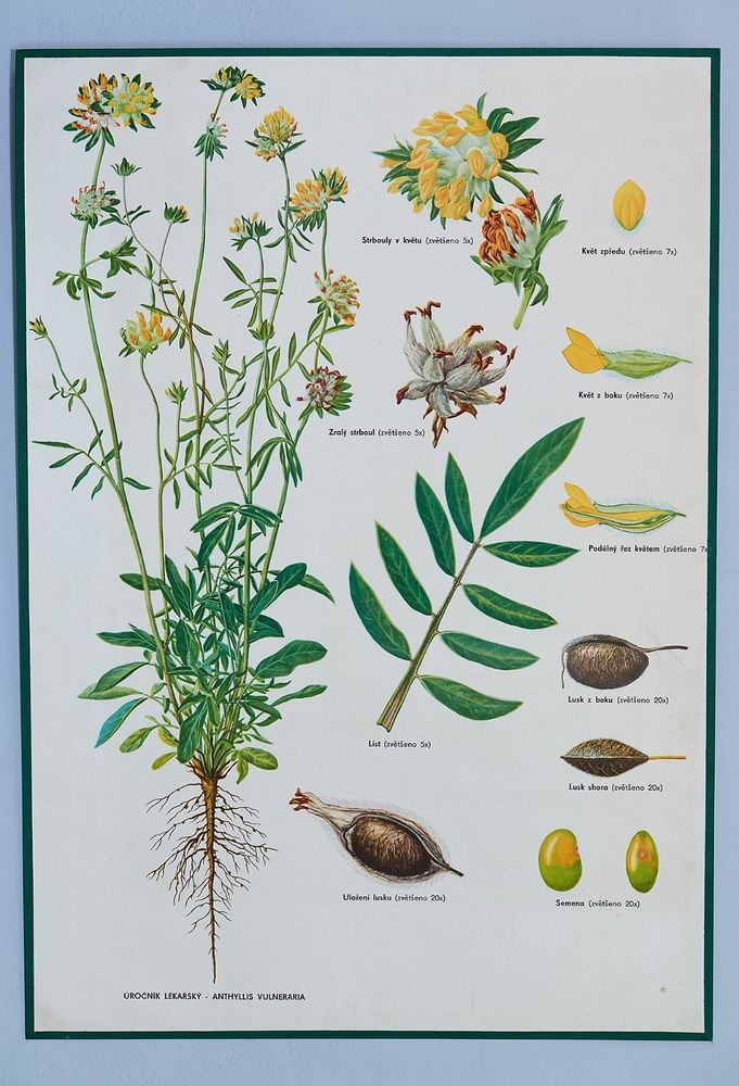 Rare vintage antique school botanical poster. Good condition. Medicinal plant.
