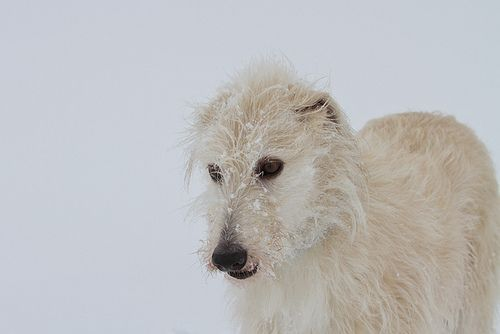 Barley lurcher in snow