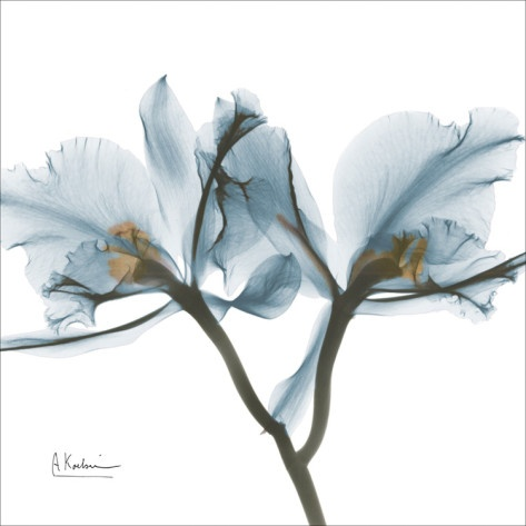 Orchids in Blue Art Print   photographer : Albert Koetsier