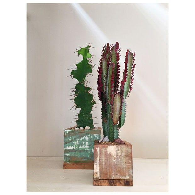 Eufórbias na coluna Natureza em Casa (foto: FLO atelier botânico) matéria: aprenda a diferenciar cactos das euforbias