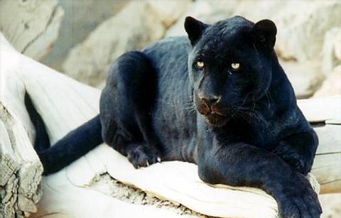 La pantera negra es una forma de denominar a los leopardos melánicos. El color negro de la pantera negra es producido por una gran cantidad de melanóforos (células pertenecientes a una de las capas de la piel) distribuidos por toda la superficie corporal.     Distribución La pantera negra es un gran felino nativo de Sudamerica, Centroamerica y parte de Norteamerica  Características La pantera negra es el mayor de los felinos de America, mide entre 1.1 y 1.85 metros de longitud cuando…
