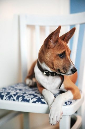 I love basenjis with darker faces and less blaze--they remind me of my boy dog.