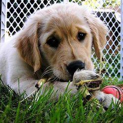 « Chiot » et « chien » sont deux réalités différentes, et le dressage du chiot sera différente de celle d'un chien.Faire la différence avec un chien adulteC'est exactement comme « enfant » et « homme ». Si un enfant ...