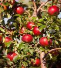 Honeycrisp Apple Trees - Dwarf Apple Trees