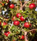 Honeycrisp Apple Trees - Dwarf Apple Trees