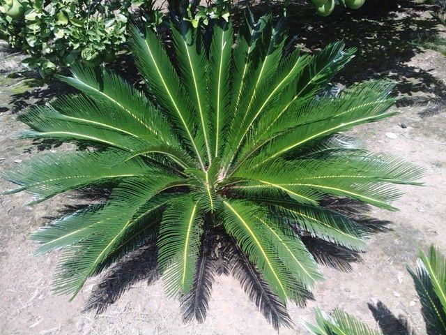 Tipos de palmas ver si me pueden ayudar a for Ver plantas para jardin