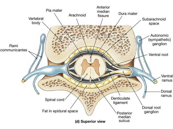 19 best anatomy images on Pinterest | Medizin, Menschliche anatomie ...