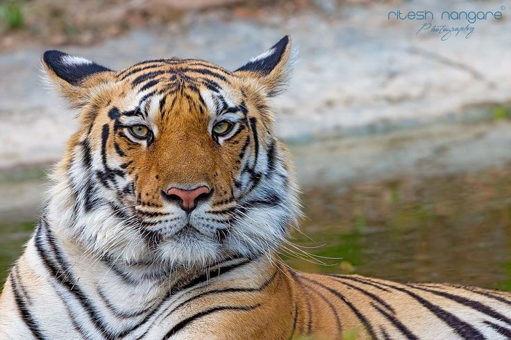 I Am Baras….. - KHURSAPAR, Pench Maha, 14 May 2017… KHURSAPAR Area is small part of the Pench tiger reserve Maharashtra, Most of the people Mistakenly think it is part of Pench MP. But it is not. It is part of Maharashtra Pench and its too close to Tuliya gate of Pench MP. Mostly un exploredored but still have good amount of wild life in the jungle. It is very beautiful small forest and even for the tigers and all other animals and birds, the management and the ranger done great job to…