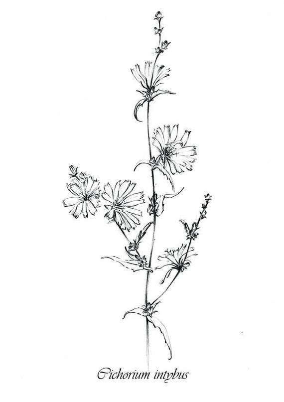 Set 4 Sketches Wild Flowers Clipart Hygge Medicinal Herbs