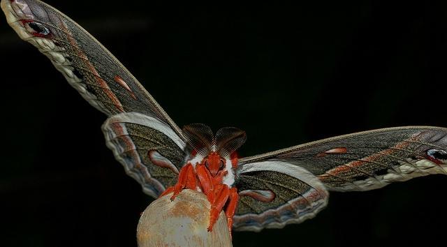 Cecropia moth (cecropiaagain by RReiheld, via Flickr)Amazing Insects, Moth Cecropiaagain, Mothers Nature, Native Moth, Cecropia Moth, Robin Moth