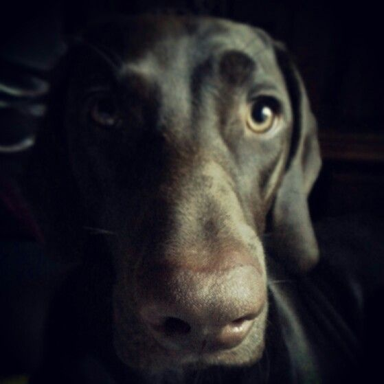 Shadow - gsp / german shorthaired pointer