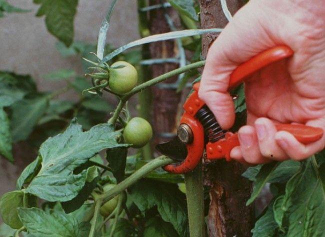 Tailler les légumes au potager - A quel moment faut-il ébourgeonner, étêter ou tailler les 10 légumes et herbes aromatiques les plus cultivés au potager ?