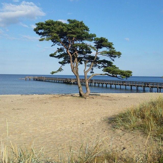 Vackert träd på stranden  i Åhus, Sverige