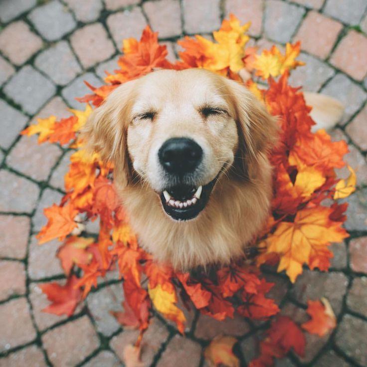 Golden Retriever Enjoying The Fall Leaves Pet Dogs Animals