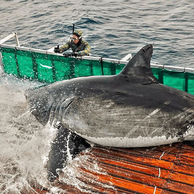 This is white shark Amy. She is one of the largest sharks we have ever tagged.