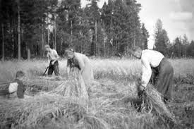 Harvest time in past Finland | sadonkorjuu