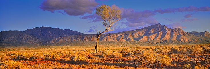 Lone tree near Wilpena Pound, Flinders Ranges - South Australia. Photo: Chriss Morrison.