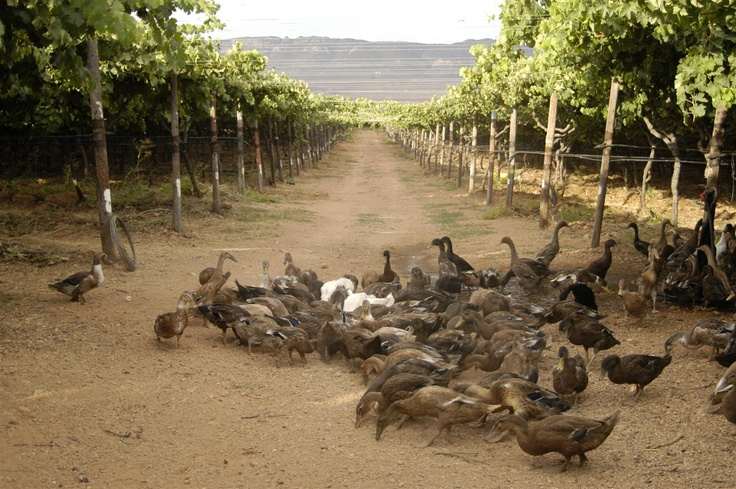Indian Runner ducks live in the Stellar Vineyards to control snails. That means we don't have to use any chemicals!