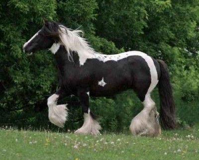 fotos de caballos percherones en venta