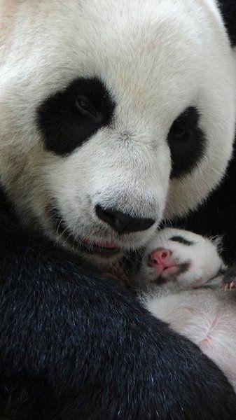 Pandabär mit Nachwuchs im taiwanischen Taipeh: Die Population im nahen China wächst wieder - nachdem die Volksrepublik die Tiere beinhahe ausgerottet hatte....
