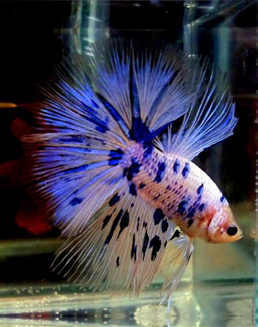 Spotted Betta | My Virtual Betta Bowl | Pinterest | Betta
