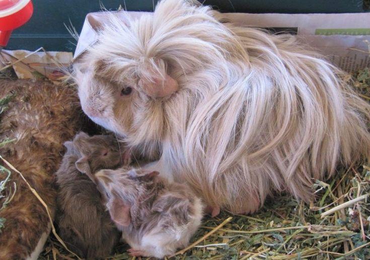 Peruvian guinea pig breeding
