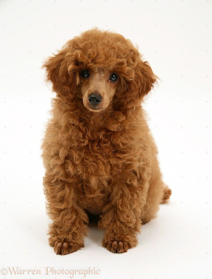Red Toy Dogs : Best images about i love red toy poodle puppies on