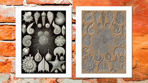 Thalamphora (Seashells) by Ernst Haeckel, 1904. Incredible Seashell Vintage Prints. Printable Sea Wall Art, Marine Print, Beach House Decor. Digital print. Instant download. Art print. 2 JPG files in 11x14' size.