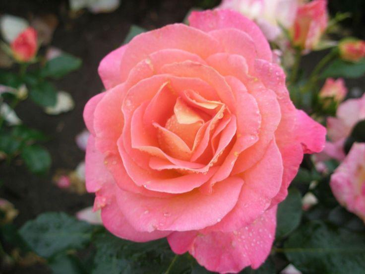 Hybrid Tea Rose 'Inspiration'