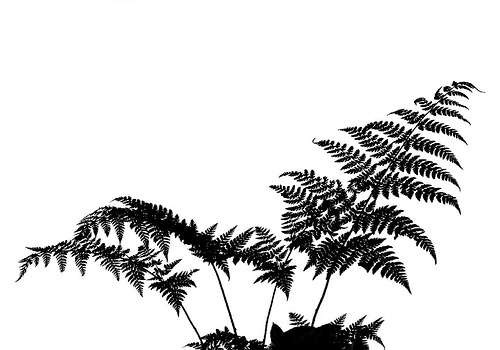 Fern Silhouette by loloboho, via Flickr