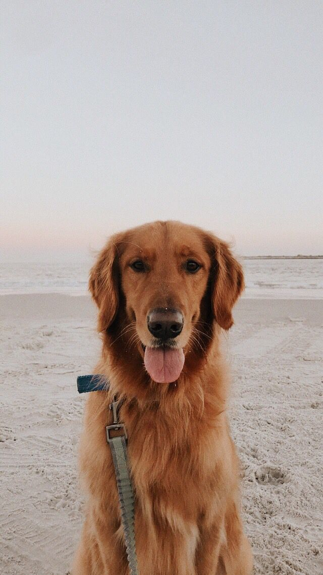 Pin by 𝐜𝐚𝐢𝐭 on animals in 2020 Golden retriever, Dogs
