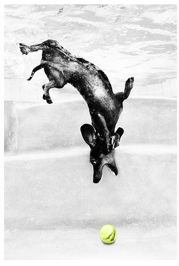 There's something funny about the face and eyes of dogs underwater, or dog diving for a ball, or doggies fetching in a swimming pool. photo taken by Seth Casteel  Wiener dog