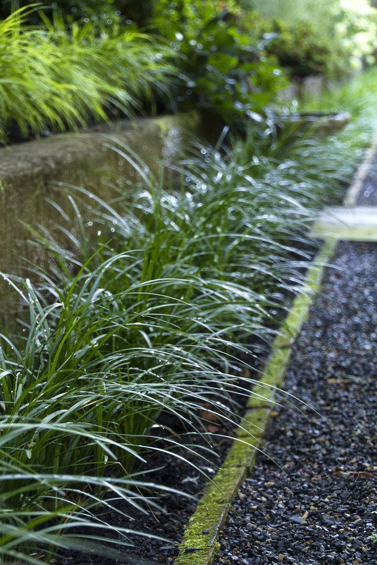Low growing ornamental grasses - Lilyturf Is A Tough But Showy Evergreen Groundcover With Purplish Bell Shaped Summer Followed By
