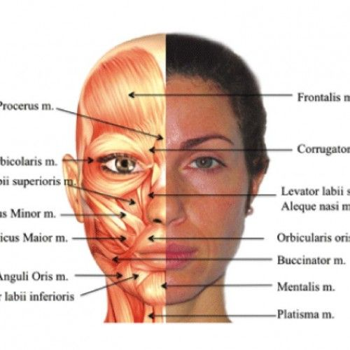 Human Face Anatomy Diagram | Anatomy in 2019 | Facial