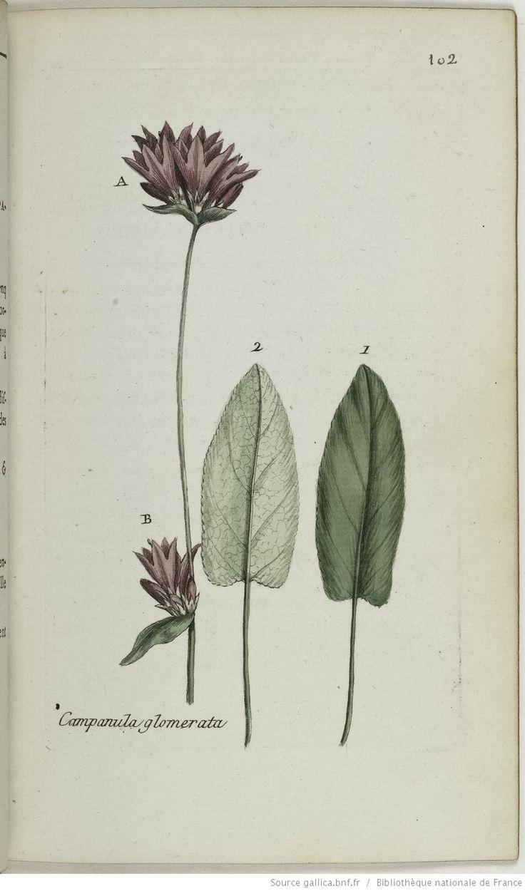 CAMPANULA - Campanula glomerata. La petite gantelée / La ganteline / La campanette / L'herbe de la Vierge