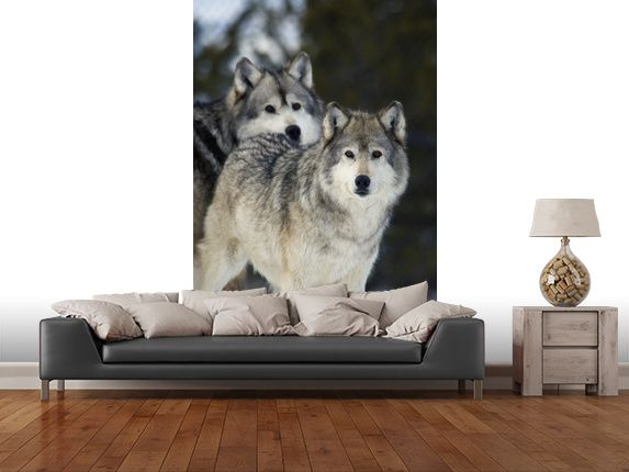 Gray Wolves In Winter At Grizzly And Wolf Center Wall Mural