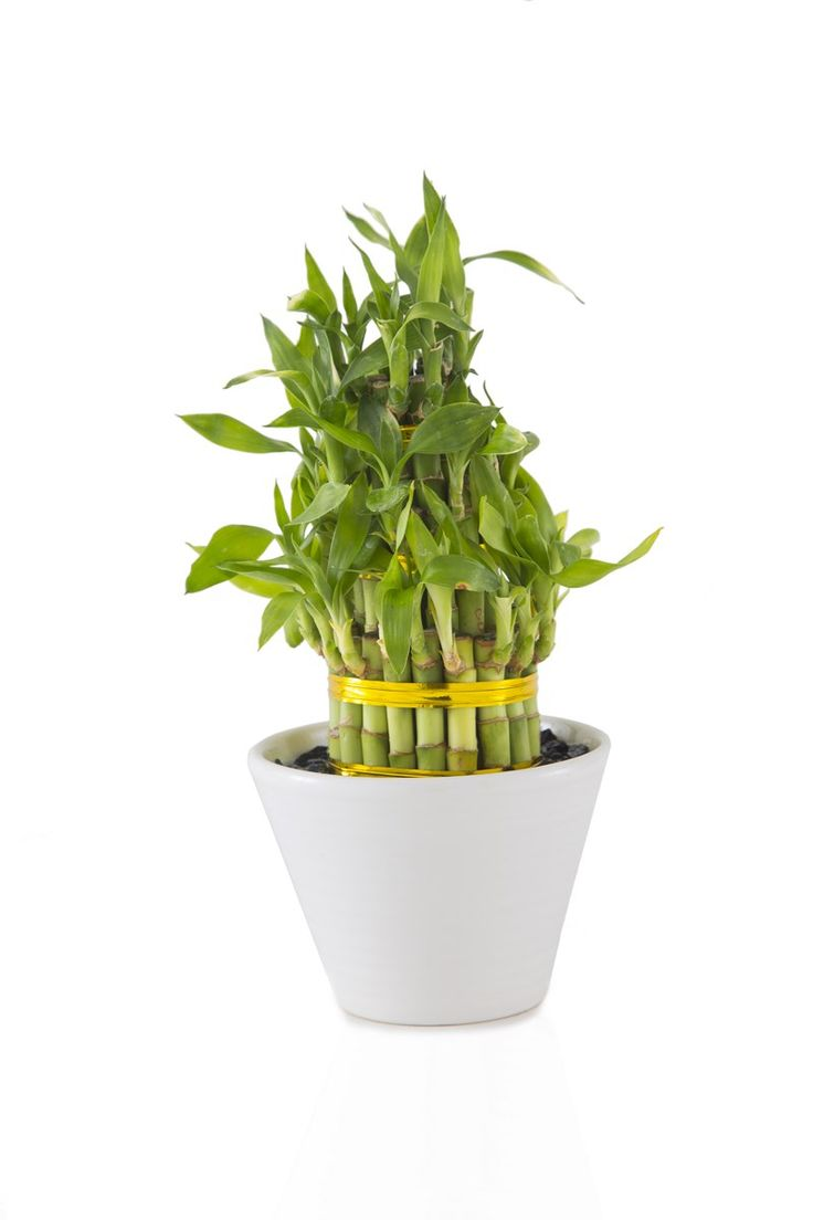 What do the colors of ribbon symbolize on lucky bamboo ehow - Lucky Bamboo Towers Shops Products Plants