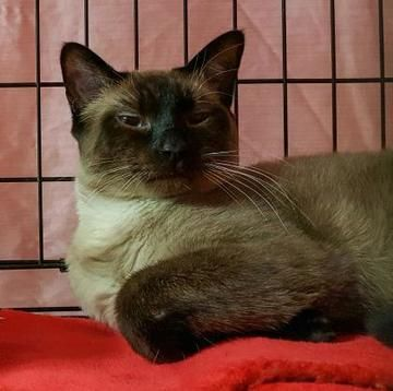 Check out Siam's profile on AllPaws.com and help him get adopted! Siam is an adorable Cat that needs a new home. https://www.allpaws.com/adopt-a-cat/colorpoint-shorthair/5877936?social_ref=pinterest
