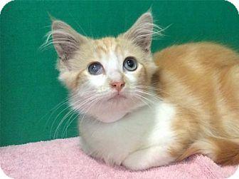 American Shorthair Cat for adoption in Pomona, California - I1258048