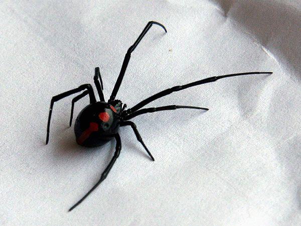 black widow spider - Google Search
